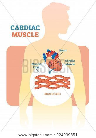 Cardiac muscle vector illustration diagram, anatomical scheme with human heart. Medical educational information.