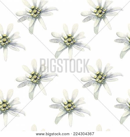 Edelweiss flowers isolated. watercolor seamless pattern illustration. Rare Alpine star. swiss symbol. hand drawn. switzerland swiss symbol. For decoration, prints, advertising, logo posters design