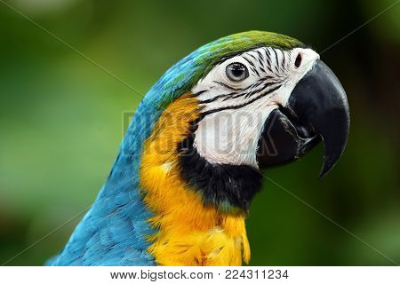 Face of The blue-and-gold macaw (Ara ararauna) , is a large South American parrot with blue top parts and yellow under parts. It is a member of the large group of neotropical parrots known as macaws.