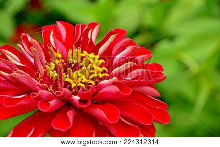 Zinnia is a genus of annual and perennial herbs and subshrubs of the family Asteraceae (Asteraceae). The name of the flower was given in honor of the German scientist Johann Cinna. The beauty of zinnias in her extraordinary