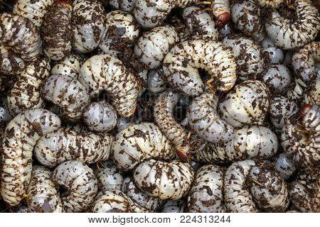 Image of grub worms, coconut rhinoceros beetle (Oryctes rhinoceros), Larva.