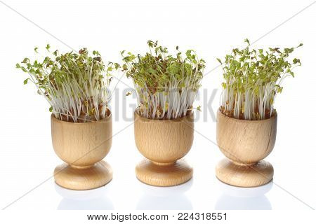 growing cress in wooden pot on white background
