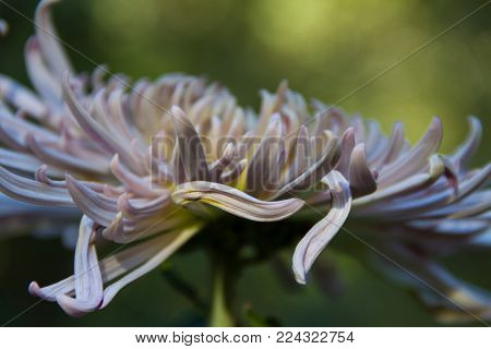 Gorgeous artistic close-up of a La Parisienne Chrysanthemum- classified in the quill category of Chrysanthemums- in a garden.