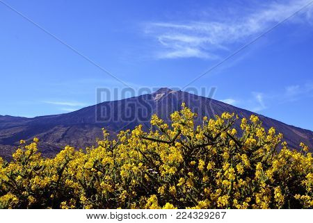 View of volcano El Teide with beautiful yellow mountain flowers in the foreground.Mount Teide in spring.Teide National Park, Tenerife,Canary Islands,Spain.Selective focus.