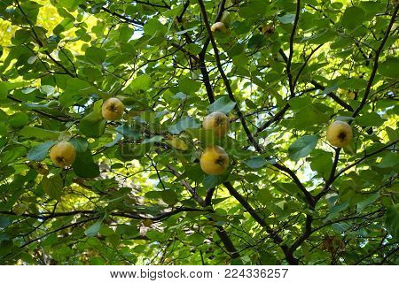 Mature fruits on the branches of quince tree