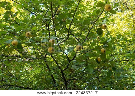 Yellow fruits on the branches of quince tree