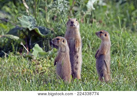 the gophers climbed out of the hole on the lawn , the furry cute  gophers  sitting on a green meadow in sunny day