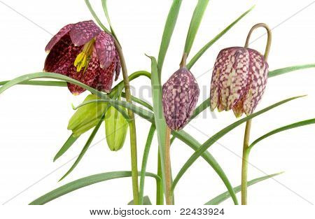 Checkerd Daffodil