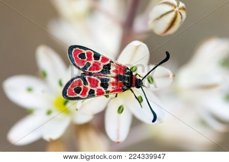 Day-flying Burnet Moth Overview - Zygaena Fausta