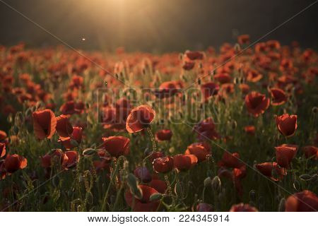 The Remembrance Poppy - Poppy Appeal. Flower For Remembrance Day, Memorial Day, Anzac Day In New Zea