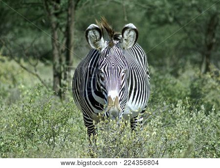 Grevy's zebra stands in a bush at Samburu National park, Kenya