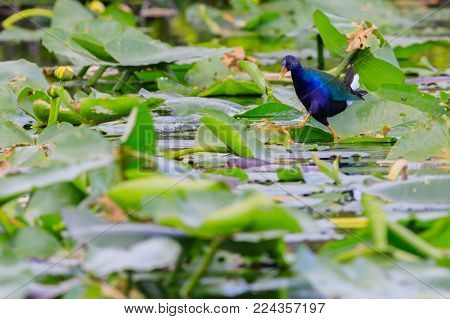 A male Purple Gallinule walking on lily pads in the swamp at Everglades National Park, Florida November 2017