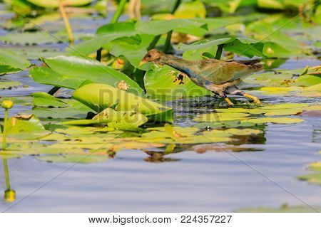 A female Purple Gallinule walking on lily pads in the swamp at Everglades National Park, Florida November 2017