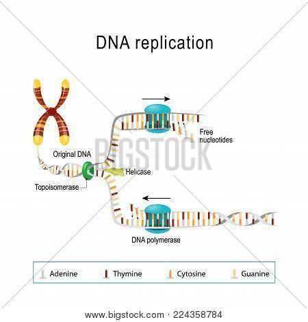 Dna Replication Vector Photo Free Trial Bigstock