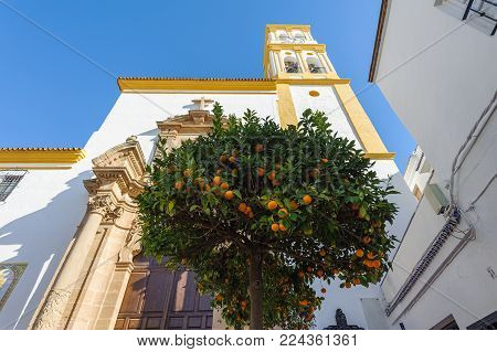 Citrus tree with oranges and church on a background. Marbella, Spain