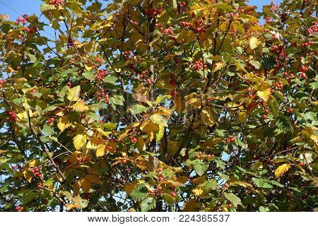 Green and yellow leafage and red berries of whitebeam in autumn