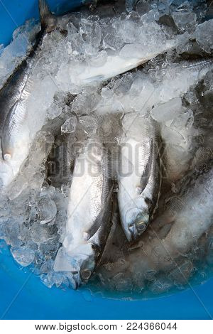 Fresh Fish Of Caribou ( Banded Crevalle ) On Ice In The Market. Ice Cooled Hakes On A Fish.