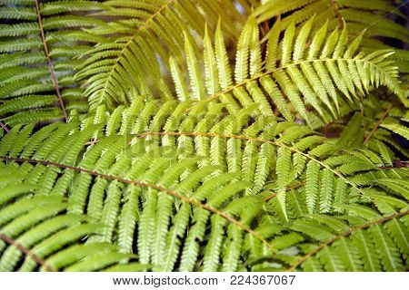 Green Garden Background Of Fishbone Fern Or Sword Fern (nephrolepis Cordifolia (l.) Presl.)