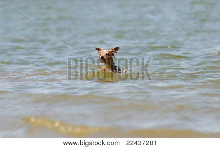 little scared Yorkshire terrier swimming in a lake poster