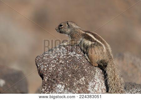 Barbary Ground Squirrel Atlantoxerus getulus on  Fuerteventura, Canary Islands  Spain
