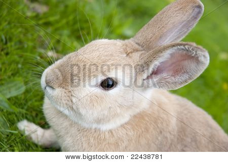 Rabbit Close Up With Defocused Background
