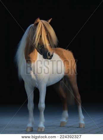American Miniature Horse. Pinto stallion with long white mane and gold forelock.