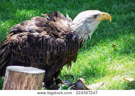 A Bald Eagle In Captivity, Recovering From Injury, Close Up Detail
