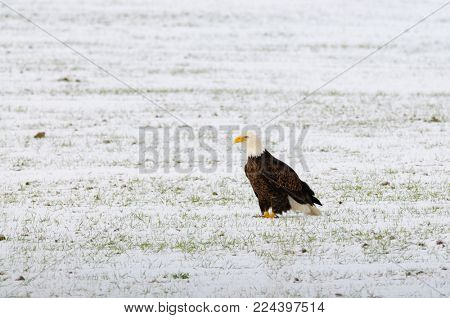 Bald eagle in a field during winter