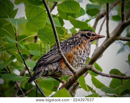 A Young Fledgling Robin Sitting On Aspen Tree Branch