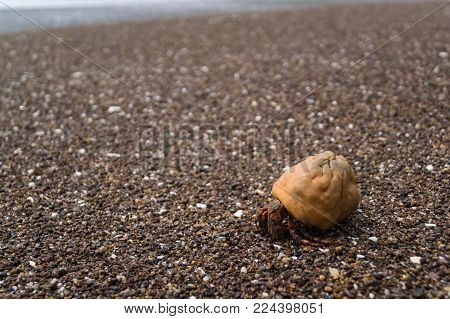Hermit crab rushes to the water on wet sand