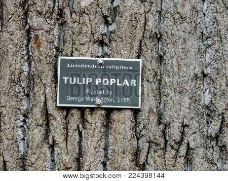 Tulip Poplar Sign On Tree At Mt Vernon, Liriodendron Tulipifera, Planted By George Washington, 1785.