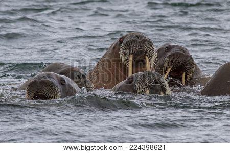 Walruses In A Water In Svalbard