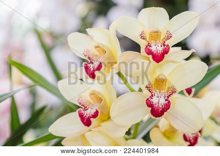 Orchid flower in orchid garden at winter or spring day for postcard beauty and agriculture idea concept design. Cymbidium orchid. Hybrid orchid.