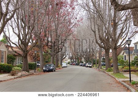 Tall Liquid amber, commonly called sweet gum tree, or American Sweet gum tree, lining an older neighborhood in Northern California. Branches mostly bare, winter dormant.