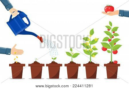 Growth of plant in pot, from sprout to vegetable. Planting tree. Seedling gardening plant. Timeline. Vector illustration in flat style