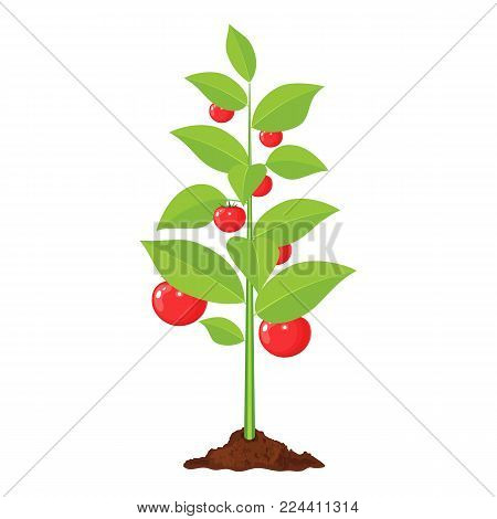 Decorative vegetable tree. Growth of plant, from sprout to fruit. Planting tree. Seedling gardening plant. tomato tree. Vector illustration in flat style