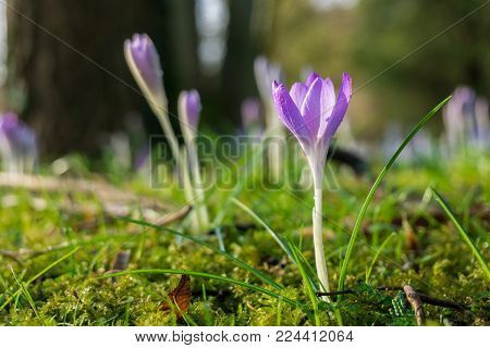 Close-up of beautiful purple Crocus Flowers on a green Meadow. View on violet Crocuses in Sunlight. Flowering Springt Flowers. Pink Crocus Flowers in the Morning Light. Nature and Flower Background.