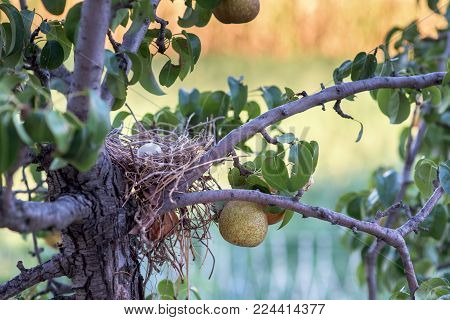 Thug egg in nest in a  pear tree