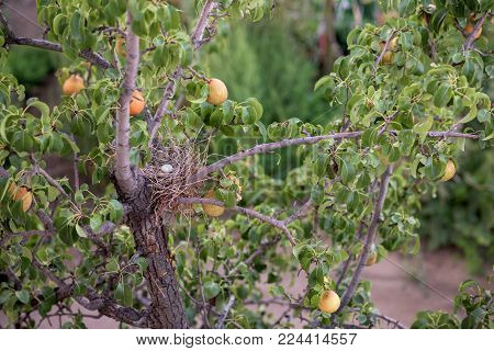 White thug nest in a pear tree