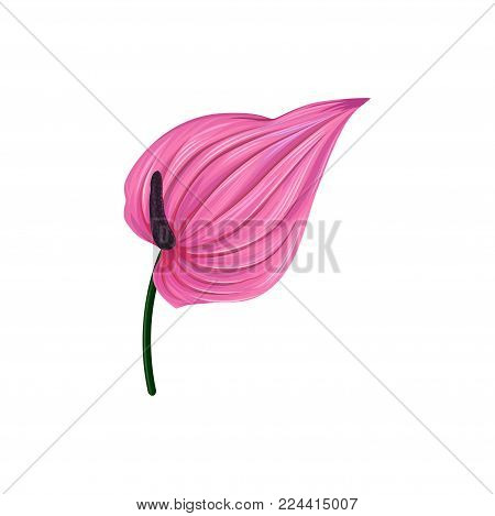 Pink anthurium or lamingo flower vector Illustration isolated on a white background