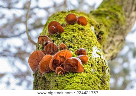 Amazing edible mushrooms known as Jews ear, Wood ear or Jelly ear (Auricularia auricula-judae) on mossy tree stem and blurred background
