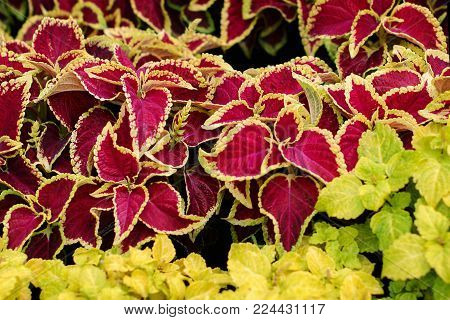 Colored leaves of the Coleus blumego plant, gardens close-up selective focus background,