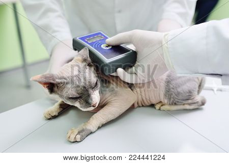 Microchiping sphinx cat in vet clinic by veterinarians