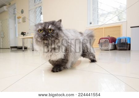 beautiful Persian cat against the backdrop of a veterinary clinic