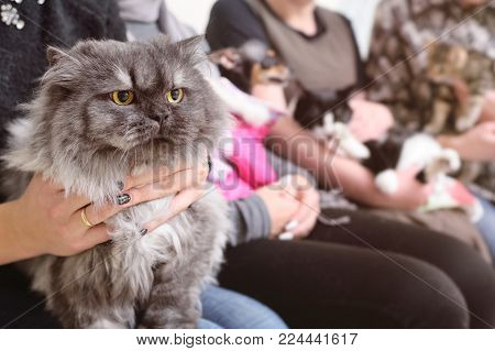 beautiful adult Persian cat in the hands of the owner in the queue for examination in the veterinary clinic
