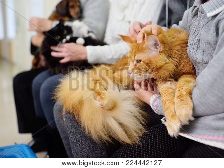 Maine Coon is a huge red cat in the queue for a medical examination in a veterinary clinic