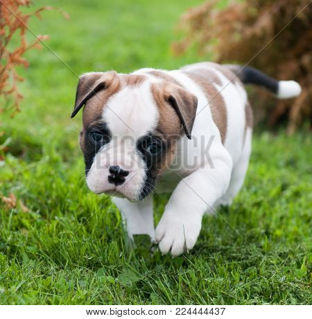 Funny nice red white American Bulldog puppy is walking on the grass. Puppy's acquaintance with nature. Dog is afraid of the world