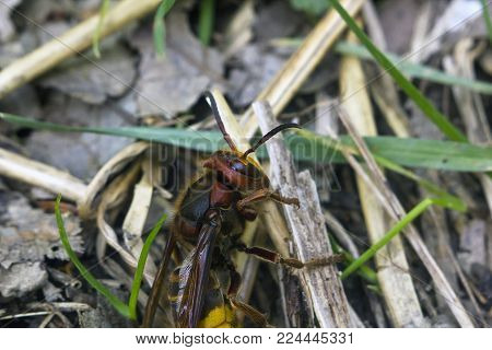 Large European hornet (Vespa crabro) crawls on ground