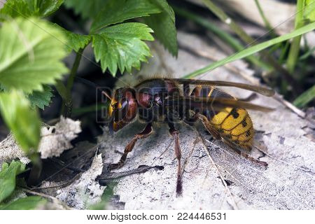Large European hornet (Vespa crabro) side view