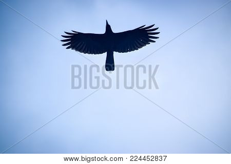 common crow with wide-spread wings isolated against blue sky